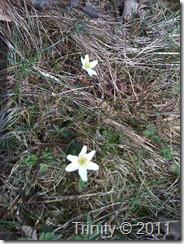 Hvitveis titter fram fra vissent gress