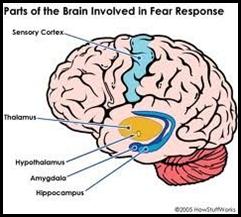 deler i hjernen som er involvert ved frykt og andre følelser