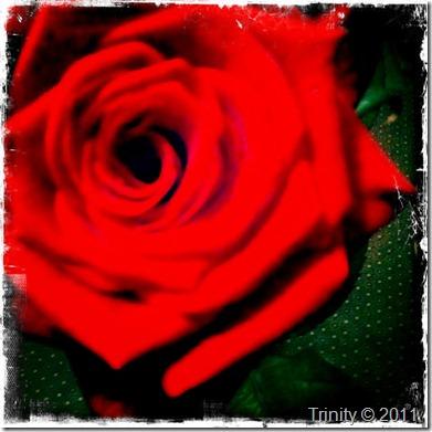 Rød Rose er et tegn på kjærlighet - kjenner du følelsen av å få blomster - er den god?