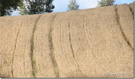 Avlingen ser bra ut i år