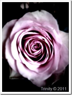 Rosen - et av våre kjærlighetssymboler