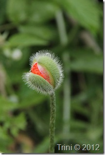 Selv med en liten dråpe vann på toppen av kapselen ser det ut til at denne lille valmueblomsten er lykkelig over endelig å få gå ut i full blomst - det samme gjelder kanskje for mennesker? Når mennesker får mulighet til å slå ut i full blomst er da de er som mest lykkelige