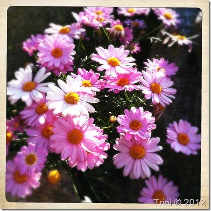 Hva er ekte? Margeritter i nydelig rosatoner eller i gråtoner?